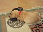 Chien Labrador - Labrador  (0 mois)