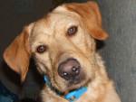 Chien croise labrador et griffon - Labrador  (0 mois)