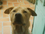 Chien Prenom Ben croisé american staff/labradore - Labrador  (0 mois)