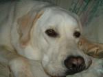 Chien labrador songeur - Labrador  (0 mois)