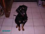 Chien setter croisé labrador - Labrador  (0 mois)