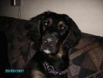 Chien bouba setter croisé labrador - Labrador  (0 mois)