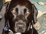 Chien labrador, vanille - Labrador  (0 mois)
