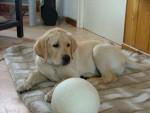 Chien BOUBA, labrador - Labrador  (0 mois)