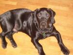 Chien Coka basset labrador maintenant 6 mois - Labrador  (6 mois)