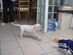 Chien charlie- labrador - Labrador  (0 mois)