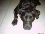 Chien croisé labrador et rott. chipie - Labrador  ()