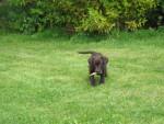 Chien Spirale Rapporte labrador - Labrador  (0 mois)