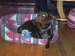Chien labrador-braque allemand       Caramel - Labrador  (0 mois)
