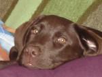 Chien labrador retriever DJERBA - Labrador  (0 mois)