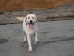Chien amande - Labrador Femelle (4 ans)