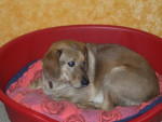 Chien LABRADOR KIKINOU - Labrador  (0 mois)