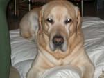 Chien Labrador - Sammy ... au réveil - Labrador  (0 mois)