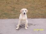 Chien labrador  casper - Labrador  (0 mois)