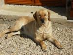 Chien stecy labrador - Labrador  (0 mois)