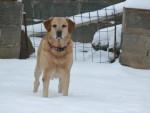 Chien LABRADOR   SIMBA - Labrador  (0 mois)