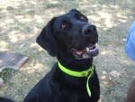 Chien Milo, Labrador croisé doberman - Labrador  (0 mois)