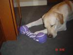 Chien Timon, labrador - Labrador  ()