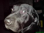 Chien Kovu - Labrador Mâle (8 ans)