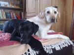 Chien labrador dragonne et baghera - Labrador  ()