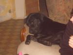 Chien labrador max - Labrador  (0 mois)