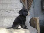 Chien Yack - Labrador Mâle (10 mois)