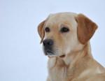 Chien Beau portrait Labrador : Caïd - Labrador  (0 mois)