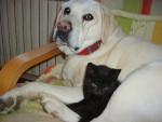 Chien Mantoine 14 ans avec Polett - Labrador  (14 ans)