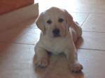 Chien Falka chiot Labrador sable femelle - Labrador  (0 mois)