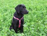 Chien Kayla 6 mois - Labrador  (6 mois)