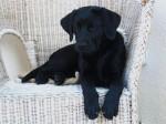 Chien Kayla labrador noir femelle de 6 mois - Labrador  (6 mois)
