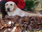 Chien Labrador sable : Eden - Labrador  (0 mois)