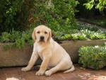 Chien Harley, chiot Labrador sable de 2 mois - Labrador  (2 mois)