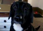 Chien Lady - Labrador Femelle (3 ans)
