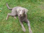 Chien Buffy - Labrador Femelle (9 mois)