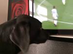 Chien My dog watching tv lol - Labrador Mâle (1 an)