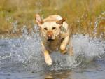Chien Le Labrador - Labrador  ()