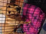 Chien Layla - Labrador Femelle (1 mois)