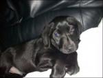 Chien Paddy - Labrador Mâle (3 mois)
