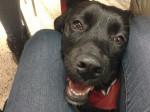 Chien Madeleine - Labrador Femelle (10 mois)