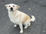 Chien Iona - Labrador Femelle (4 ans)
