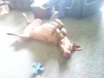 Chien Rusty - Labrador Mâle (2 ans)