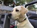 Chien Lithium - Labrador Femelle (2 ans)