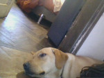 Chien Luna - Labrador Femelle (9 mois)