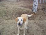 Chien Roxy - Labrador Femelle (7 ans)