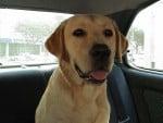 Chien Topaze en voiture - Labrador  (0 mois)