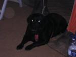 Chien Repose toi - Labrador  (0 mois)