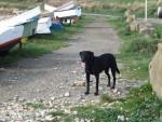 Chien LEZOU 3ans - Labrador  (0 mois)