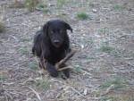 Chien nounouch - Labrador Mâle (2 ans)