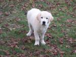 Chien Drop - Labrador Mâle (5 mois)